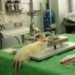 Expérimentation animale à Montpellier : les langues se délient