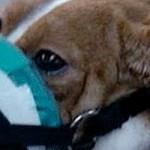 Europe : toujours plus d'animaux pour la recherche animale !