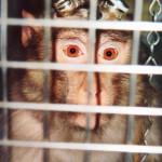 Les singes de laboratoire souffrent-ils de dépression ?