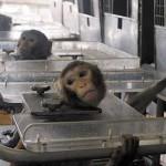 Une recherche animale «limitée au maximum et sous contrôle» ou bien qui explose ?
