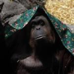 Argentine – Des droits pour un primate reconnu comme personne non humaine