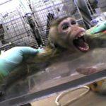 Alerte : la vivisection débarque à l'Île Maurice – Protestons !